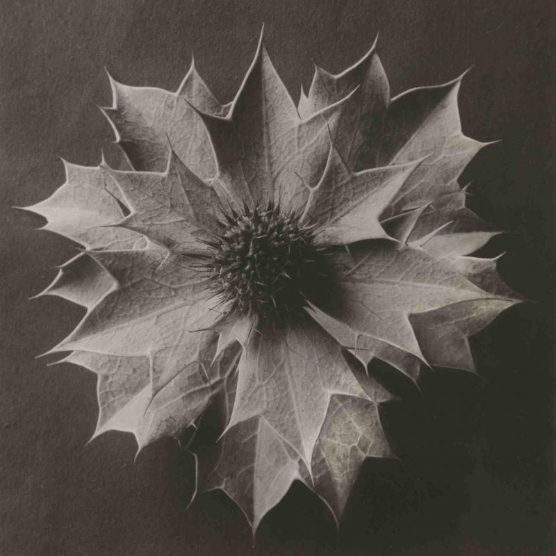 Karl Blossfeldt, Eryngium maritimum, 1915 - 1925, Silbergelatine-Abzug, vintage print, 29,5 x 23,7 cm