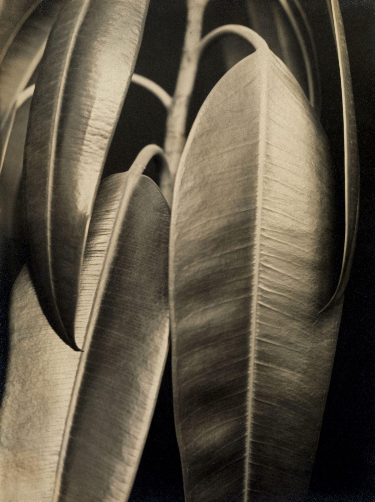 Aenne Biermann, Ficus elastica, 1926-28, Silbergelatine-Abzug, 46,7 x 35 cm, Foto: Sibylle Forster, Stiftung Ann und Jürgen Wilde, Pinakothek der Moderne, München